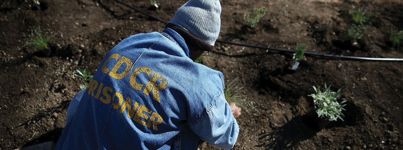 A California State Prison-Solano inmate installs a drought-tolerant garden in the prison yard on October 19, 2015 in Vacaville, California.